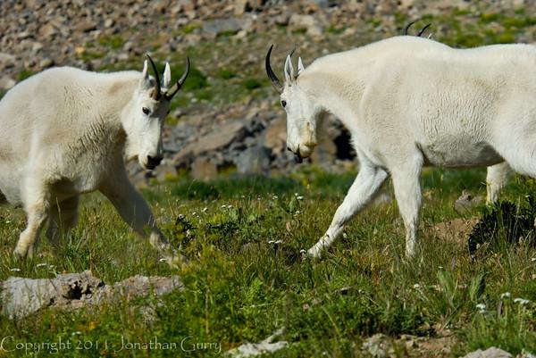 1161 - Mountain goats.  Mt. Timpanogos, Wasatch Mountains, Utah.
