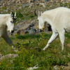 1161 - Mountain goats.  Mt. Timpanogos, Wasatch Mountains, Utah.