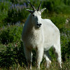 1153 - Mountain goat.  Mt. Timpanogos, Wasatch Mountains, Utah.