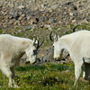 1160 - Mountain goats.  Mt. Timpanogos, Wasatch Mountains, Utah.