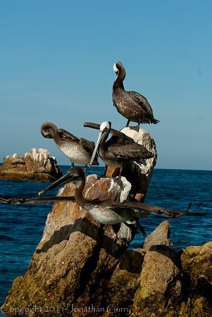 1249 - Pelican.  Cabo San Lucas, Mexico.