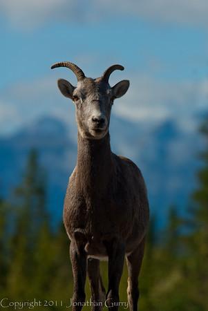 1277 - Mountain Goat, Jasper National Park, Canada.