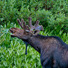 1139 - Bull Moose. Albion Basin, Utah.