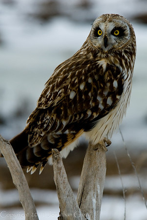 1112 - Owl wintering on the Great Salt Lake, Utah.