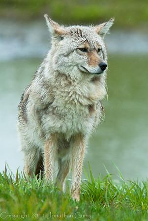 1319 - Coyote, South Central Alaska.