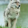 1319 - Coyote, South Central Alaska.