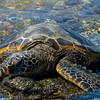 1127 - Sea Turtle.  Kona Coast, Hawaii.