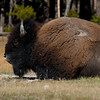 1072 - American Bison, Yellowstone National Park, Wyoming.