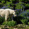 1156 - Mountain goat.  Mt. Timpanogos, Wasatch Mountains, Utah.