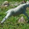 1158 - Baby mountain goat.  Mt. Timpanogos, Wasatch Mountains, Utah.