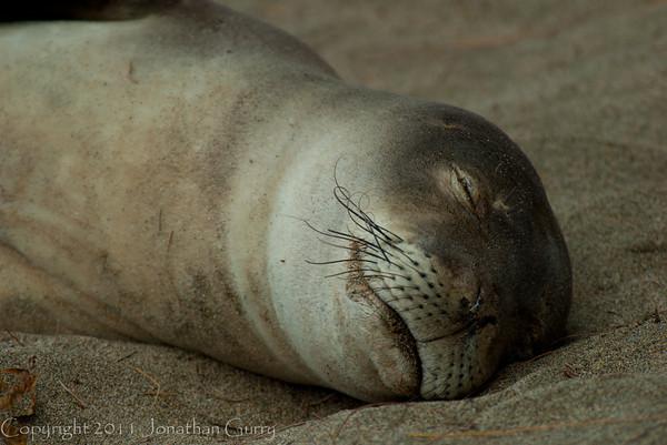 1239 - Monk Seal.  Kauai, Hawaii.
