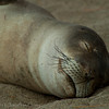1239 - Monk Seal.  Kauai, Hawaii.
