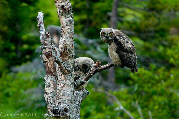 1328 - Owls, Chugach Mountains, Alaska.