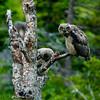1328 - Owls, Chugach Mountains, Alaska.