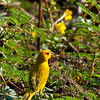 1124 - Honeycreepers.  Kona, Hawaii.