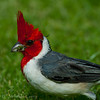 1332 - Cardinal, Honululu, Hawaii.