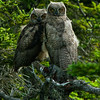 1326 - Owls, Chugach Mountains, Alaska.