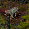 1289 - Coyote. Alaska.