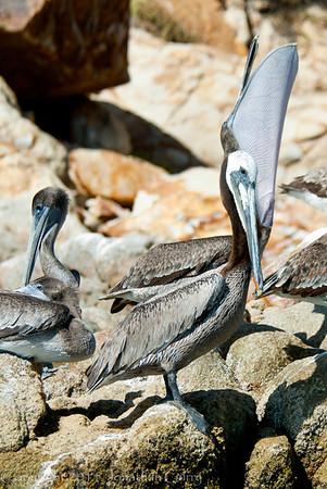 1253 - Pelican.  Cabo San Lucas, Mexico.