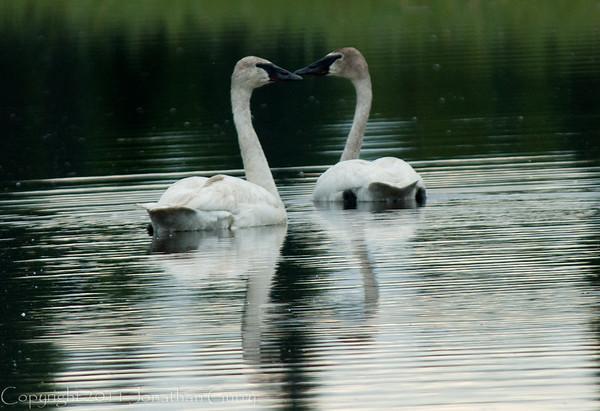 1325 - Swans, South Central Alaska.