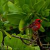 1237 - Cardinal.  Kauai, Hawaii.