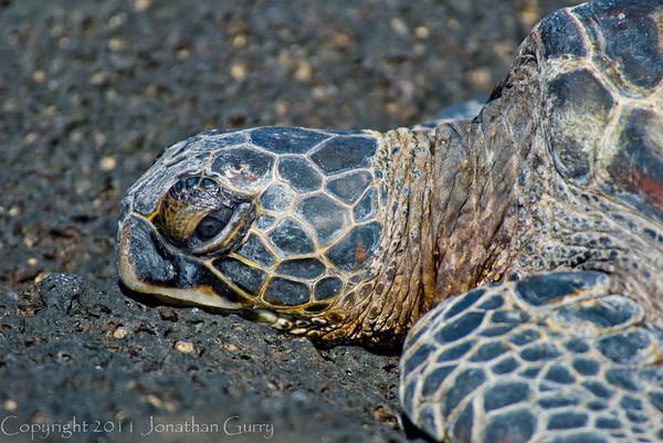 1125 - Sea Turtle.  Kona Coast, Hawaii.