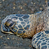 1125 - Sea Turtle.  Kona Coast, Hawaii.