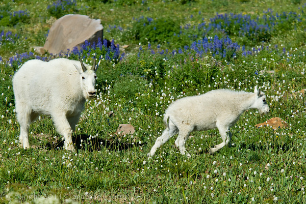 1162 - Mountain goat and baby.  Mt. Timpanogos, Wasatch Mountains, Utah.