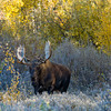 1069 - Bull Moose, Grand Teton National Park, Wyoming.