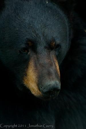 1321 - Black Bear, South Central Alaska.