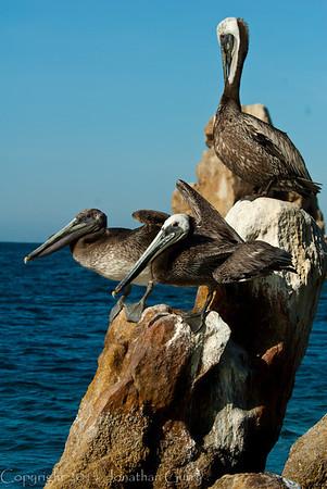 1250 - Pelican.  Cabo San Lucas, Mexico.