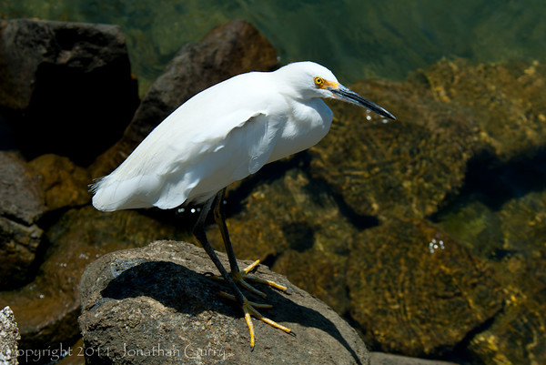 1245 - Great Egret.  Cabo San Lucas, Mexico.