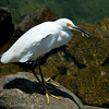 1245 - Great Egret.  Cabo San Lucas, Mexico.