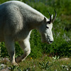1154 - Mountain goat.  Mt. Timpanogos, Wasatch Mountains, Utah.