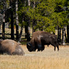 1071 - American Bison, Yellowstone National Park, Wyoming.