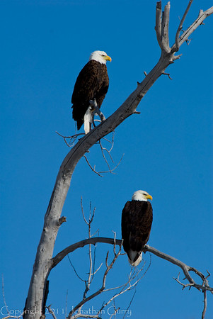 1120 - Male and Female eagle.  Wasatch, Utah.