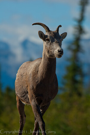 1278 - Mountain Goat, Jasper National Park, Canada.