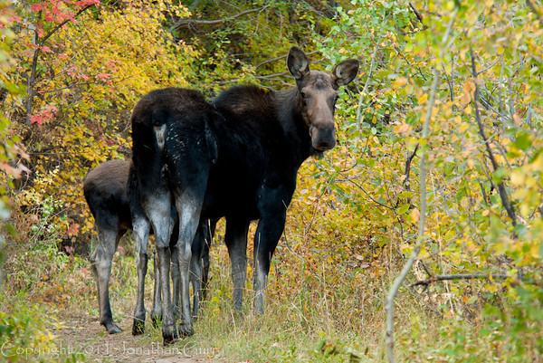 1060 - Moose and calf. Wasatch Mountains, Utah.