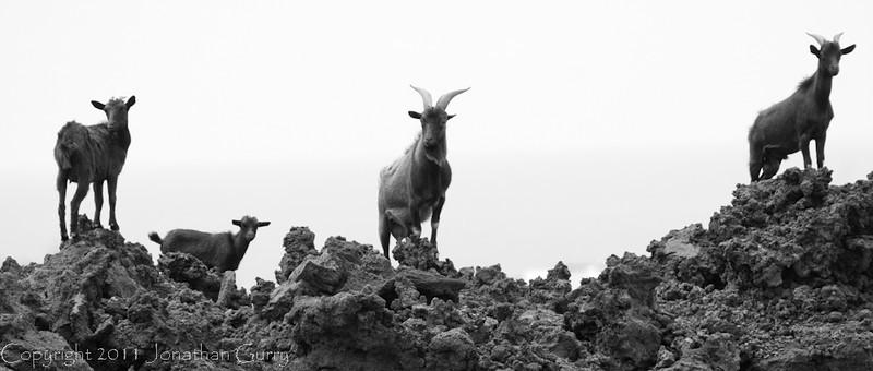 1123 - Goats on lava rock.  Kona Coast, Hawaii.  The Big Island.