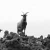 1123 - Goats on lava rock.  Kona Coast, Hawaii.  The Big Island.