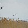1105 - Eagles wintering on the Great Salt Lake, Utah.