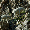 1152 - Mountain goat and baby.  Mt. Timpanogos, Wasatch Mountains, Utah.