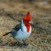 1243 - Cardinal.  Kauai, Hawaii.