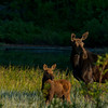 1137 - Moose and calf at Silver Lake in Big Cottonwood Canyon, Utah.