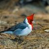 1242 - Cardinal.  Kauai, Hawaii.