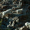 1151 - Mountain goat and baby.  Mt. Timpanogos, Wasatch Mountains, Utah.