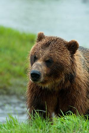 1317 - Brown Bear, South Central Alaska.