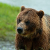 1317 - Brown Bear, South Central Alaska.
