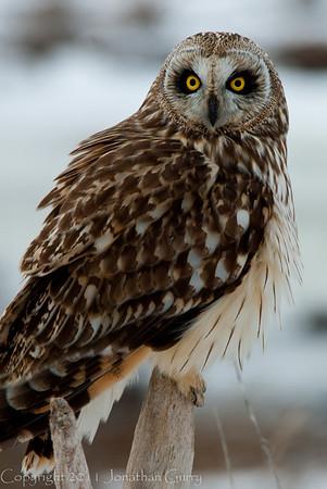 1111 - Owl wintering on the Great Salt Lake, Utah.