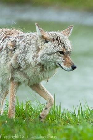 1320 - Coyote, South Central Alaska.